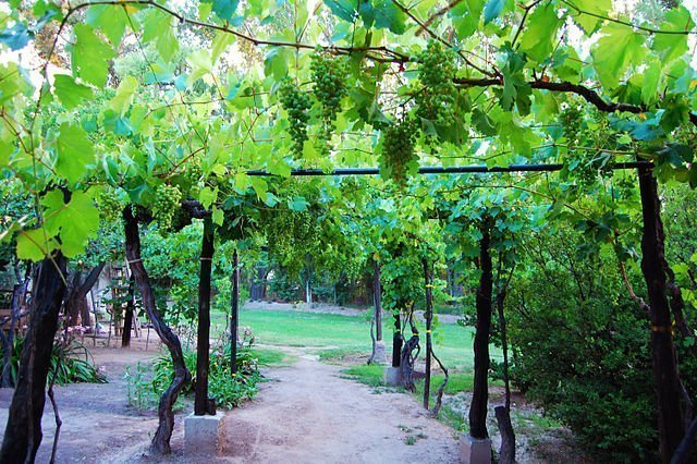 Pergola trellising system in Argentina. In high elevation sites, Malbec will be trellissed high yet underneath the canopy to protect the grapes from sunburn and aerate them to protect the tight bunches from rot