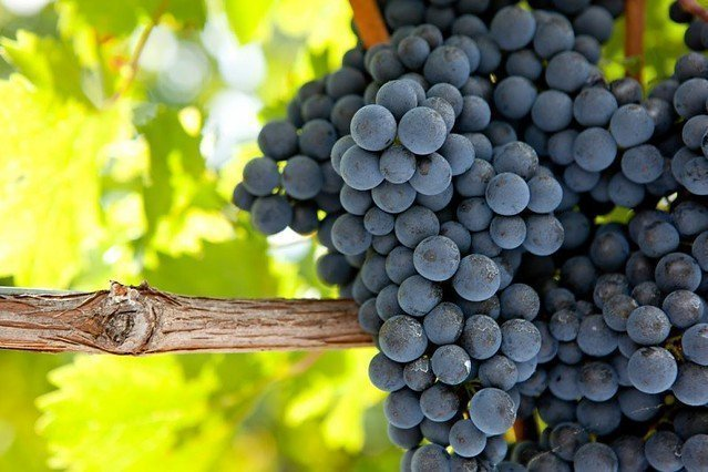 Malbec berries are tightly packed and work well with the dry Argentine climate