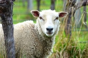 Sheep are prolific vineyard workers in New Zealand