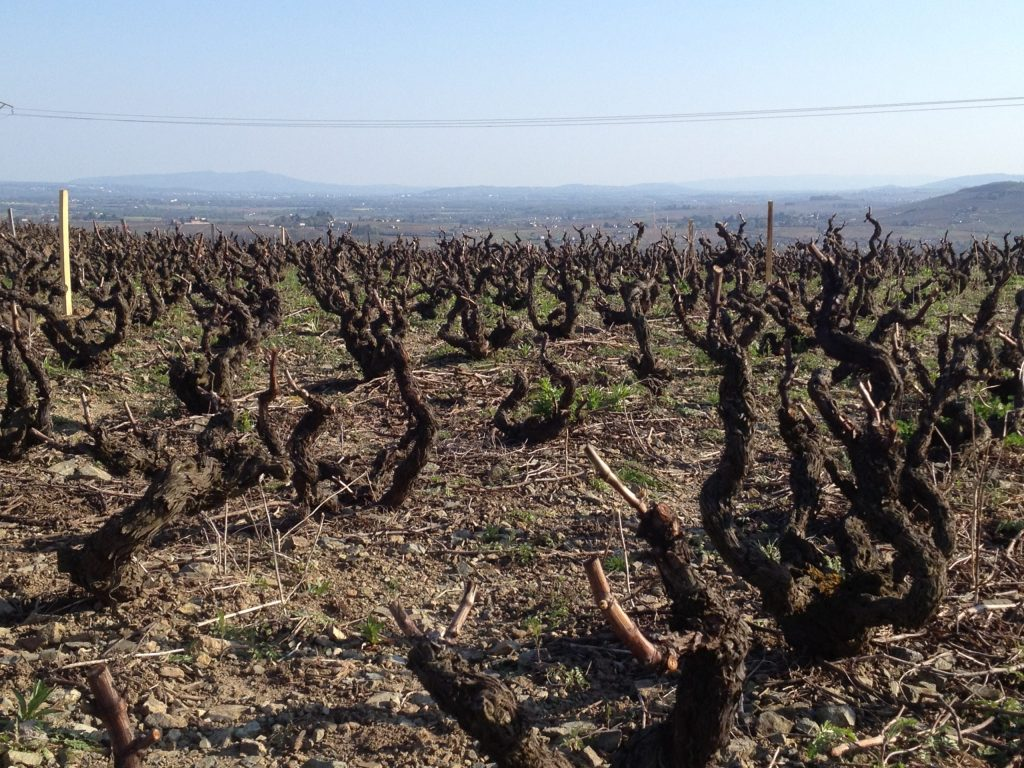 Old vines in Morgon - one of 10 Beaujolais Crus